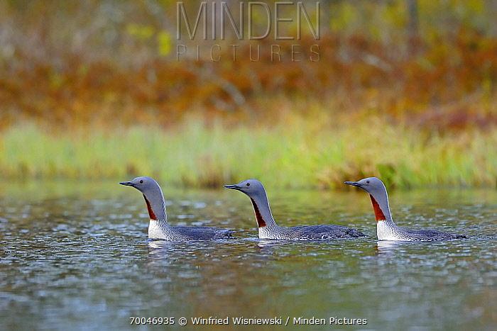 Red-throated Loon (Gavia stellata) trio, Hellefors, Sweden  -  Winfried Wisniewski