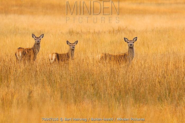 Red Deer (Cervus elaphus) females in field, Scotland, United Kingdom  -  Bart Heirweg/ Buiten-beeld