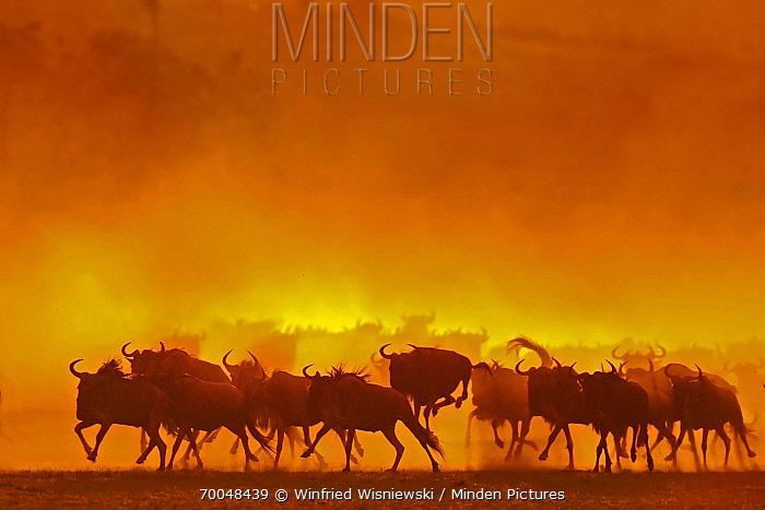Blue Wildebeest (Connochaetes taurinus) herd running at sunset, Serengeti National Park, Tanzania  -  Winfried Wisniewski