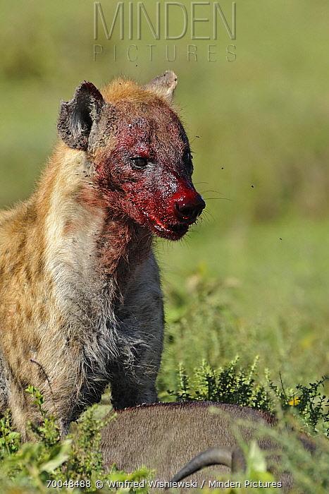 Spotted Hyena (Crocuta crocuta) feeding on prey, Serengeti National Park, Tanzania  -  Winfried Wisniewski