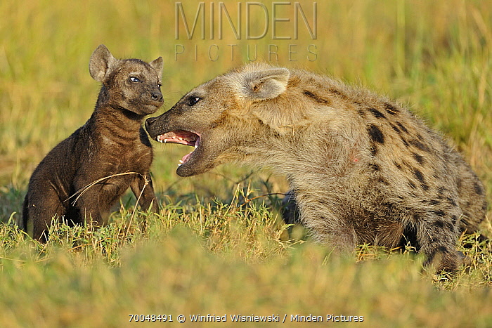 Spotted Hyena (Crocuta crocuta) mother discipling cub, Masai Mara, Kenya  -  Winfried Wisniewski