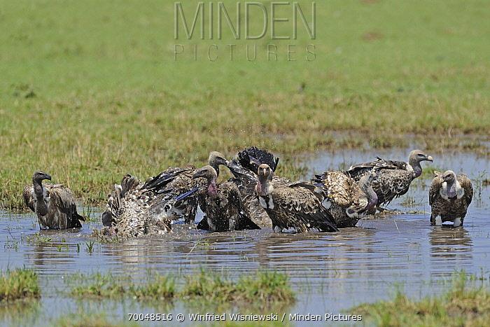 Ruppell's Griffon (Gyps rueppellii) group bathing, Masai Mara, Kenya  -  Winfried Wisniewski