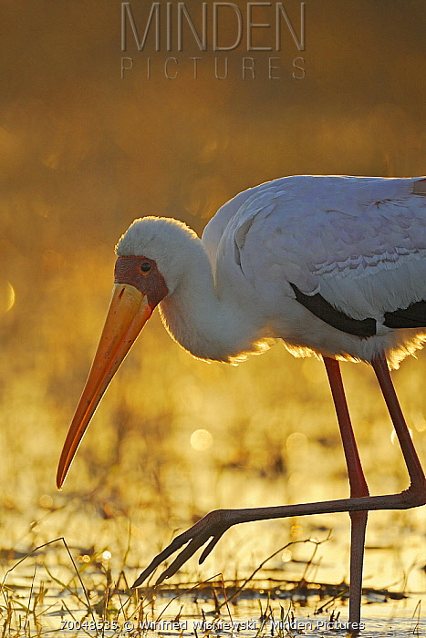 Yellow-billed Stork (Mycteria ibis), Chobe River, Botswana  -  Winfried Wisniewski