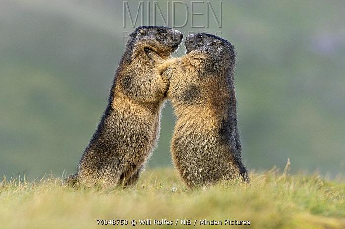 Alpine Marmot (Marmota marmota) pair interacting, Hohe Tauern, Austria. Sequence 3 of 7  -  Willi Rolfes/ NIS