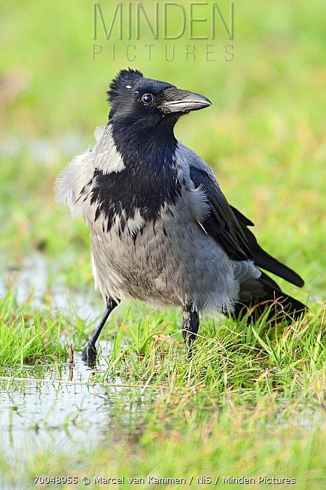 Hooded Crow (Corvus cornix), Lauwersmeer, Groningen, Netherlands  -  Marcel van Kammen/ NiS