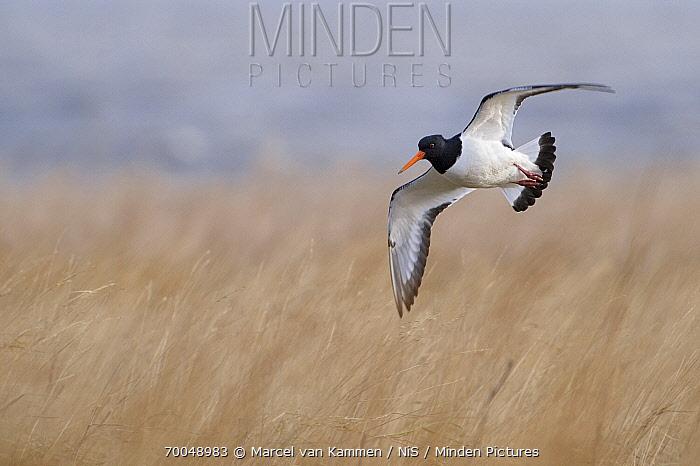 Eurasian Oystercatcher (Haematopus ostralegus) flying, Waddenzee, Holwerd, Friesland, Netherlands  -  Marcel van Kammen/ NiS