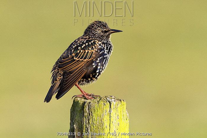 Common Starling (Sturnus vulgaris), Arkemheen, Gelderland, Netherlands  -  Jan Sleurink/ NiS