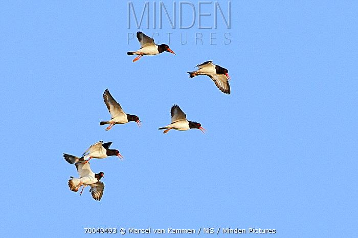 Eurasian Oystercatcher (Haematopus ostralegus) group flying, Holwerd, Friesland, Netherlands  -  Marcel van Kammen/ NiS