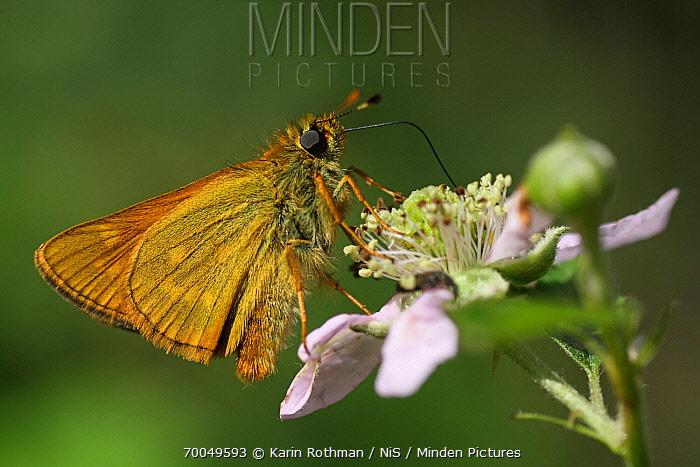 Large Skipper (Ochlodes venata) butterfly on Shrubby Blackberry (Rubus fructicosus), Engbertsdijksvenen, Overijssel, Netherlands  -  Karin Rothman/ NiS
