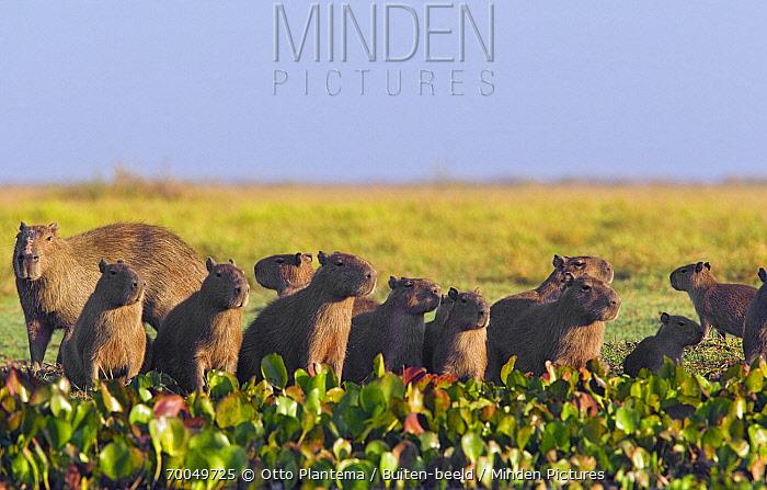 Capybara (Hydrochoerus hydrochaeris) family in marsh, Venezuela  -  Otto Plantema/ Buiten-beeld