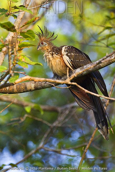 Hoatzin (Opisthocomus hoazin) perching in tree, Venezuela  -  Otto Plantema/ Buiten-beeld