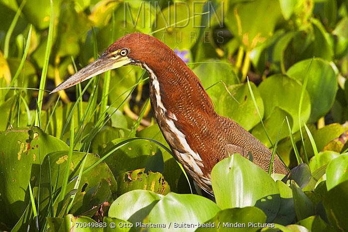 Rufescent Tiger-Heron (Tigrisoma lineatum) in marsh, Venezuela  -  Otto Plantema/ Buiten-beeld
