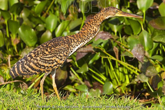 Rufescent Tiger-Heron (Tigrisoma lineatum) chick, Venezuela  -  Otto Plantema/ Buiten-beeld