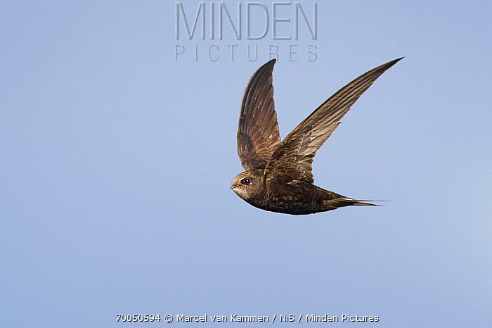 Common Swift (Apus apus) flying, Europe  -  Marcel van Kammen/ NiS
