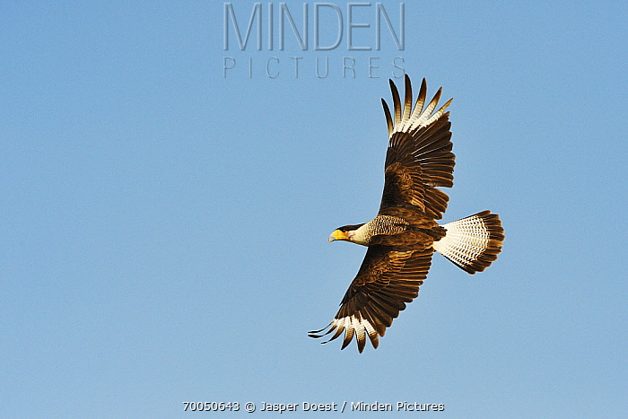Crested Caracara (Caracara cheriway) flying, George West, Texas  -  Jasper Doest