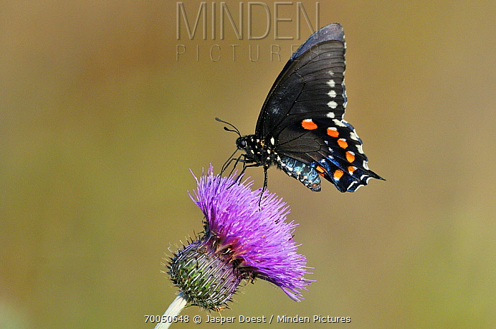 Pipe-vine Swallowtail (Battus philenor) on Texas Thistle (Cirsium texanum), George West, Texas  -  Jasper Doest