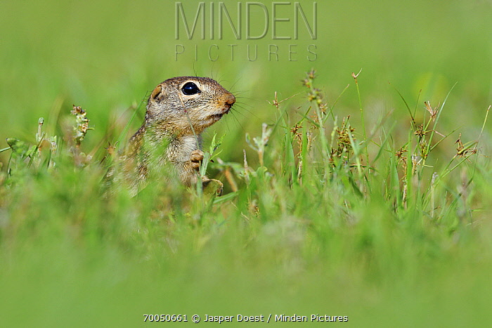 Thirteen-lined Ground Squirrel (Spermophilus tridecemlineatus), George West, Texas  -  Jasper Doest