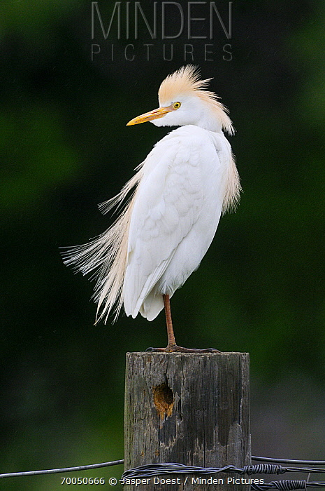 Cattle Egret (Bubulcus ibis) on post, George West, Texas  -  Jasper Doest