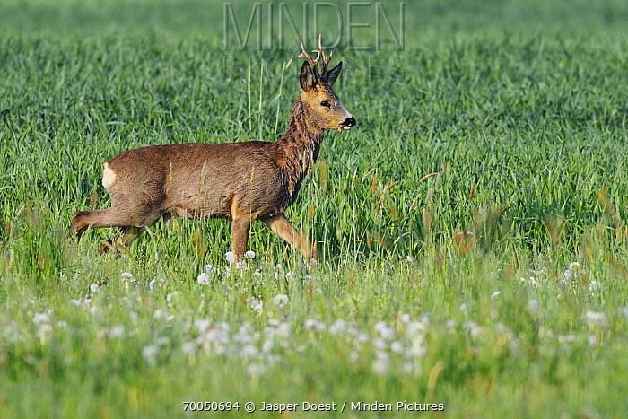 Western Roe Deer (Capreolus capreolus) male in meadow, Netherlands  -  Jasper Doest