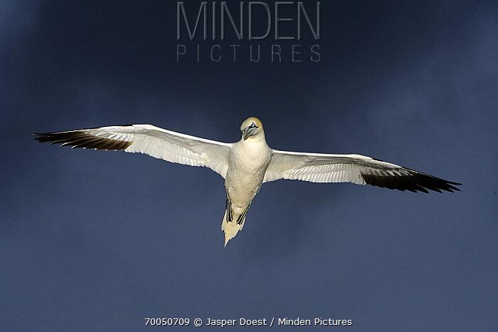 Northern Gannet (Morus bassanus) flying, Saltee Island, Ireland  -  Jasper Doest