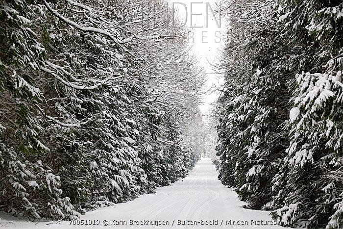 Road lined with forest in winter, Netherlands  -  Karin Broekhuijsen/ Buiten-beeld