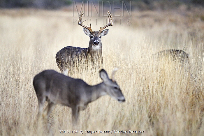 White-tailed Deer (Odocoileus virginianus) buck watching a female in a meadow, Texas  -  Jasper Doest
