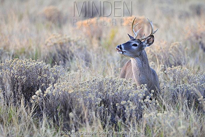 White-tailed Deer (Odocoileus virginianus) buck, Texas  -  Jasper Doest