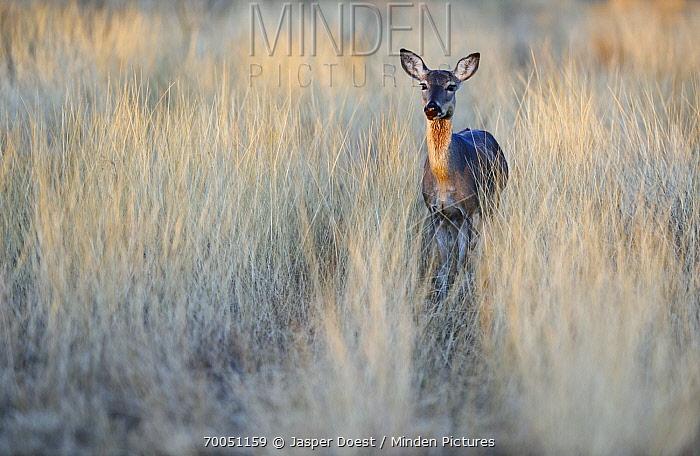White-tailed Deer (Odocoileus virginianus) female, Texas  -  Jasper Doest
