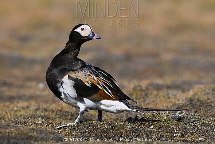 Long-tailed Duck (Clangula hyemalis) drake, Svalbard, Norway  -  Jasper Doest