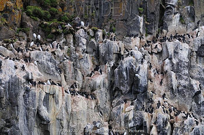 Brunnich's Guillemot (Uria lomvia) colony with whitewash of guano, Svarlbard, Norway  -  Jasper Doest
