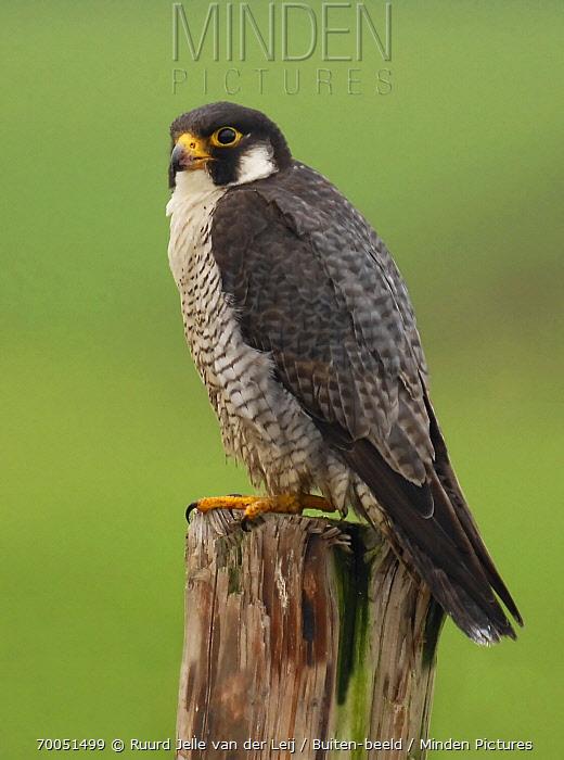 Peregrine Falcon (Falco peregrinus)  -  Ruurd Jelle van der Leij/ Buiten-beeld