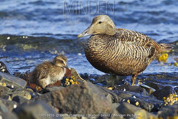 Common Eider (Somateria mollissima) parent with chick, Iceland  -  Otto Plantema/ Buiten-beeld