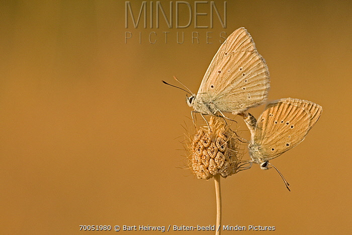 Furry Blue (Polyommatus dolus) butterfly pair mating, Europe  -  Bart Heirweg/ Buiten-beeld