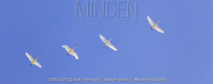 Whooper Swan (Cygnus cygnus) group flying, Netherlands  -  Bart Heirweg/ Buiten-beeld