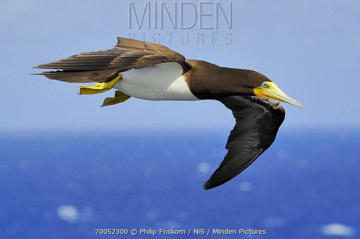 Brown Booby (Sula leucogaster) flying  -  Philip Friskorn/ NiS