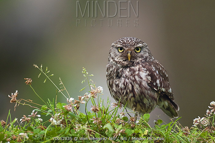 Little Owl (Athene noctua), Netherlands
