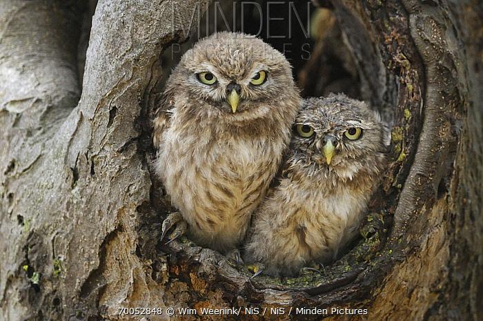 Little Owl (Athene noctua) chicks at nest cavity, Netherlands