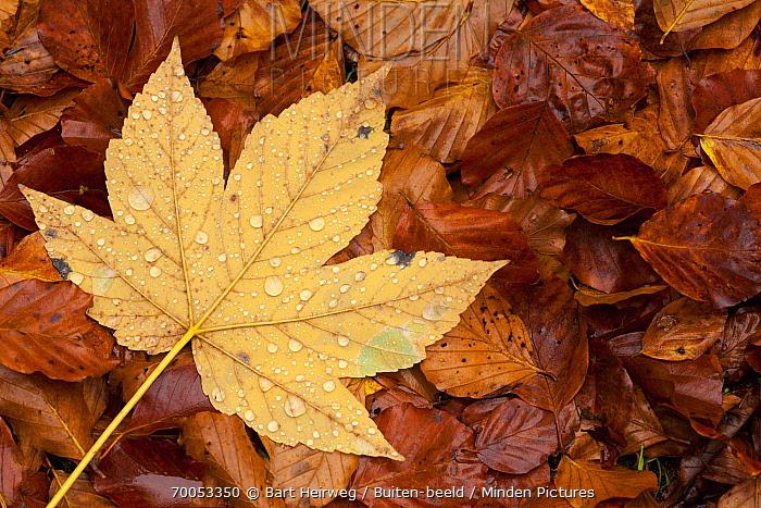 Maple (Acer sp) leaf with raindrops, Belgium  -  Bart Heirweg/ Buiten-beeld