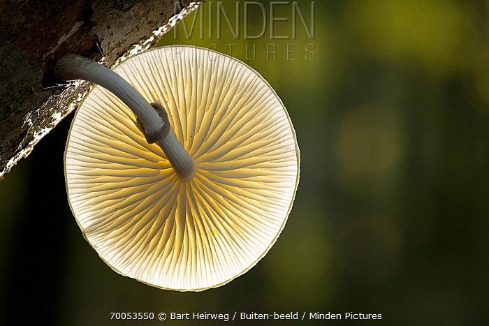 Porcelain Mushroom (Oudemansiella mucida) underside showing gills, Netherlands  -  Bart Heirweg/ Buiten-beeld