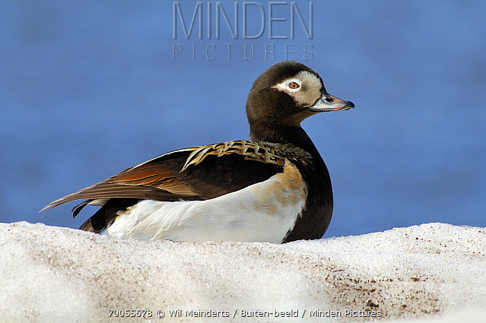 Long-tailed Duck (Clangula hyemalis) male, Iceland  -  Wil Meinderts/ Buiten-beeld