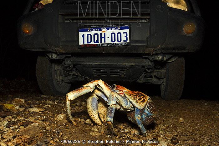 Coconut Crab (Birgus latro) crossing in front of vehicle, Christmas Island National Park, Christmas Island, Australia  -  Stephen Belcher