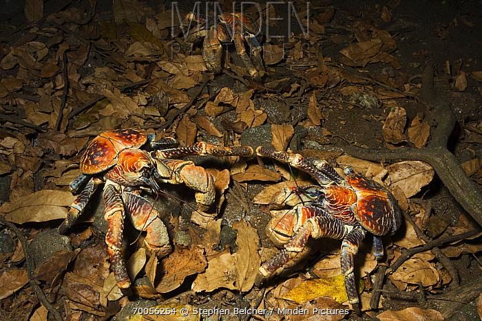 Coconut Crab (Birgus latro) pair on forest floor, Christmas Island National Park, Christmas Island, Australia  -  Stephen Belcher