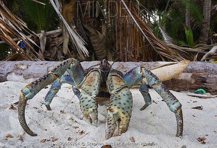 Coconut Crab (Birgus latro) on beach, Christmas Island National Park, Christmas Island, Australia  -  Stephen Belcher