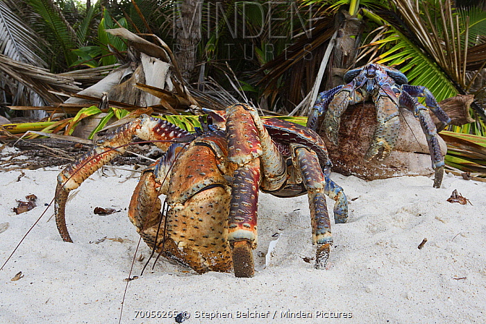 Coconut Crab (Birgus latro) pair on beach, Christmas Island National Park, Christmas Island, Australia  -  Stephen Belcher