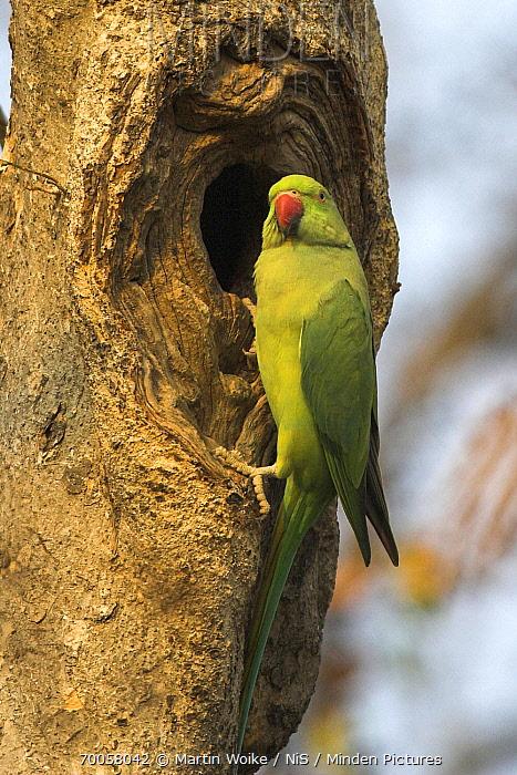 Rose-ringed Parakeet (Psittacula krameri) adult at nest cavity entrance, India  -  Martin Woike/ NiS