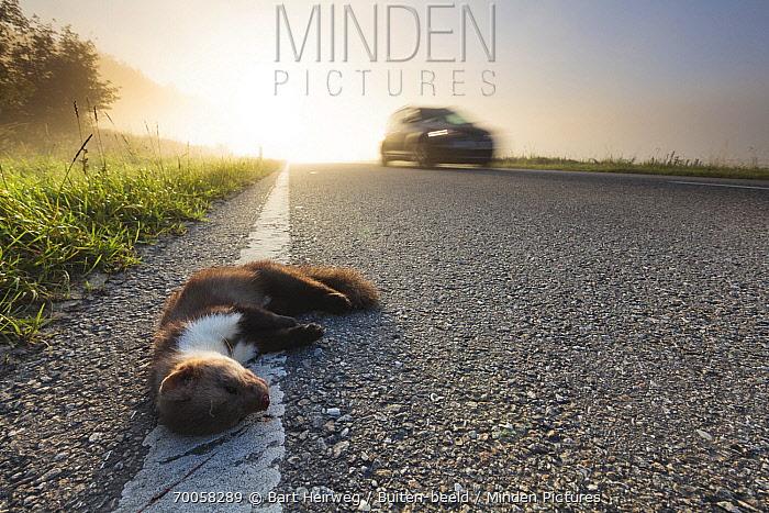Beech Marten (Martes foina) roadkill, Belgium  -  Bart Heirweg/ Buiten-beeld