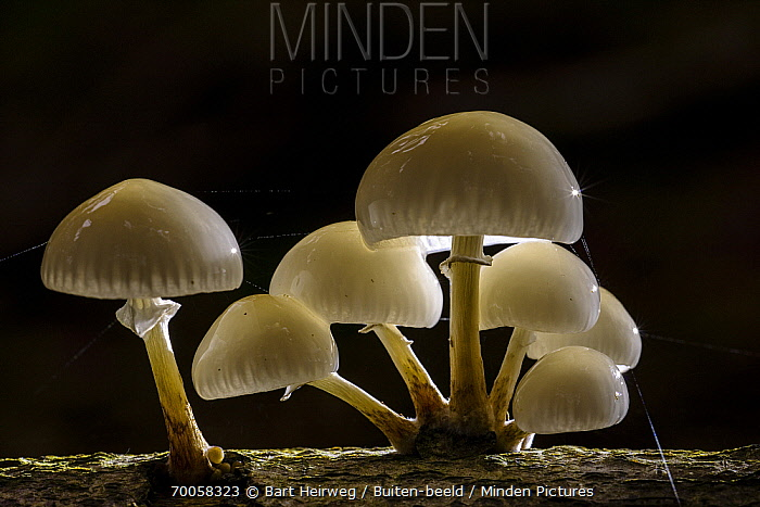 Porcelain Mushroom (Oudemansiella mucida) group, Europe  -  Bart Heirweg/ Buiten-beeld