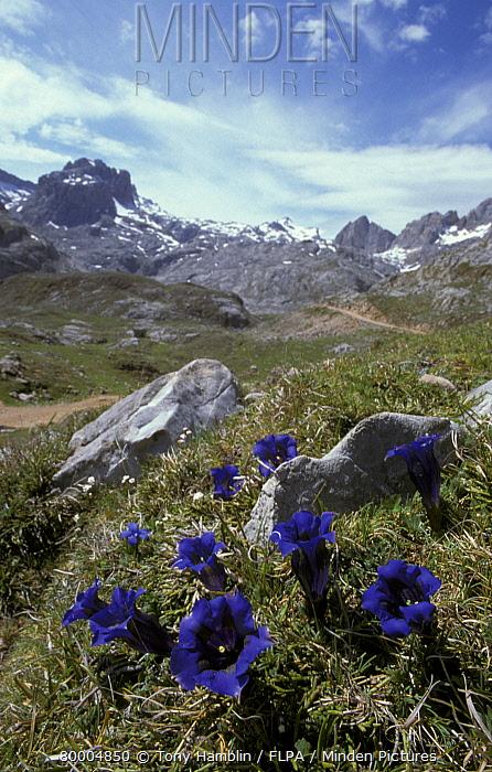 Trumpet Gentian (Gentiana acaulis) Picos De Europa, Asturias, Spain  -  Tony Hamblin/ FLPA