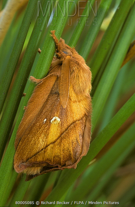Drinker Moth (Philudoria potatoria) Male on green stems  -  Richard Becker/ FLPA