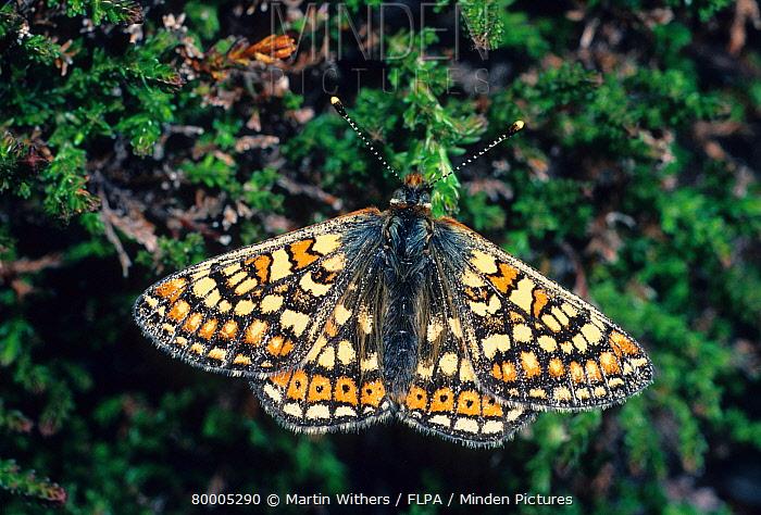 Marsh Fritillary (Euphydryas aurinia) settled on heather, wings open  -  Martin Withers/ FLPA
